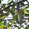 Philippine Bulbul - philippinus ssp