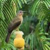 Philippine Bulbul - Philippines ssp