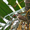Yellow-vented Bulbul - goiavier ssp