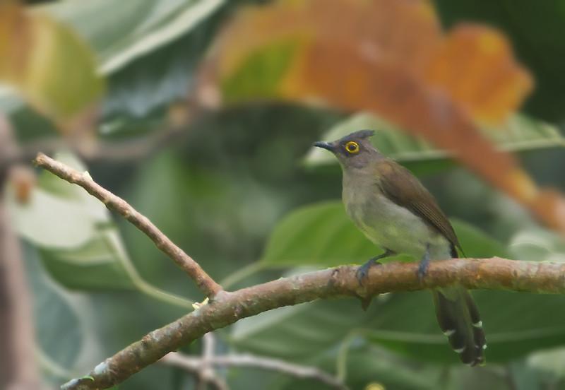 Yellow-wattled Bulbul - urostictus ssp