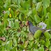 Common Moorhen - orientalis ssp