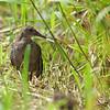 Slaty-breasted Rail - striatus ssp - immature
