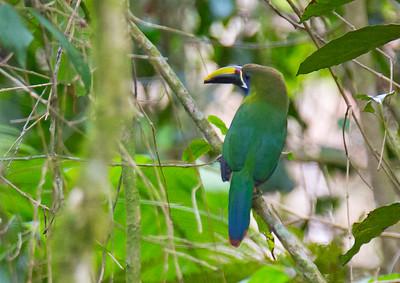 Aulacorhynchus prasinus - Emerald Toucanet