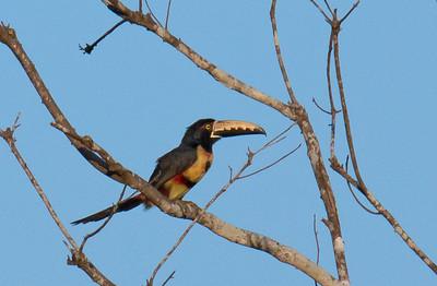Pteroglossus torquatus - Collared Aracari
