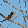 Collared Aracari - torquatus ssp