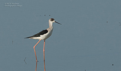 Himantopus himantopus - Black-winged Stilt