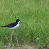 Black-necked Stilt - knudseni ssp
