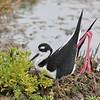 Black-necked Stilt - mexicanus ssp