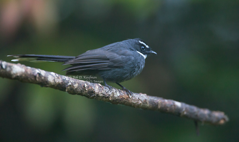 White-throated Fantail - atrata ssp