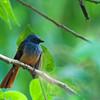 Blue-headed Fantail - cyaniceps ssp
