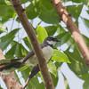 Philippine Pied Fantail
