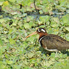 Greater Painted Snipe - female