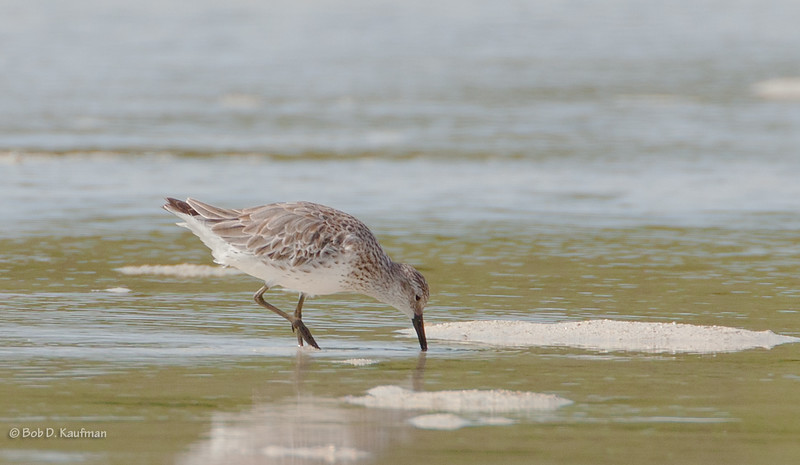 Red Knot - canutus ssp