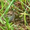 Common Snipe - gallinago ssp