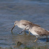 Short-billed Dowitcher - griseus ssp