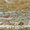 Common Redshank - eurhina ssp