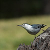 White-breasted Nuthatch - aculeata ssp