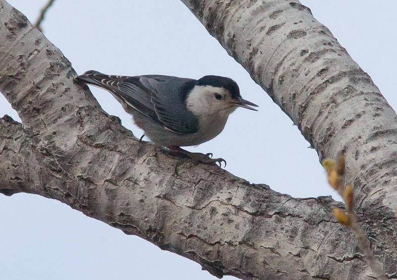 White-breasted Nuthatch - nelsoni ssp