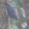 Sulphur-billed Nuthatch - isarog ssp