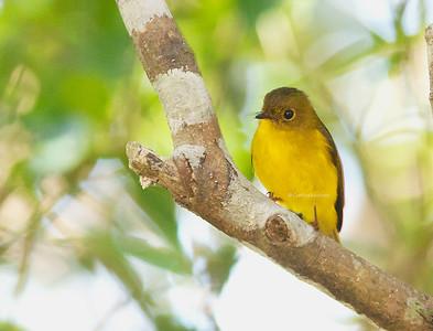 Culicicapa helianthea - Citrine Canary-flycatcher