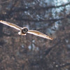 Short-eared Owl - sandwichensis ssp