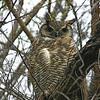 Great Horned Owl - pinorum ssp