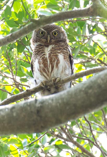 Asian Barred Owlet - whiteleyi ssp