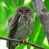 Luzon Hawk-Owl - philippensis ssp