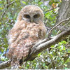 Spotted Owl - occidentalis ssp - chick