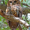 Spotted Owl - occidentalis ssp - adult