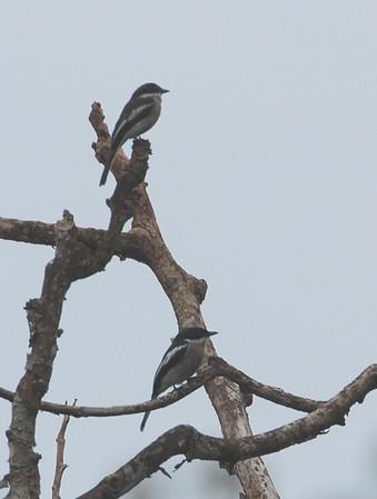 Hemipus picatus - Bar-winged Flycatcher-shrike