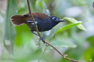 Myrmeciza exsul - Chestnut-backed Antbird