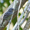 Black-crowned Antshrike - atrinucha ssp