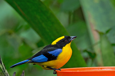 Anisognathus haematopygus - Blue-winged Mountain Tanager