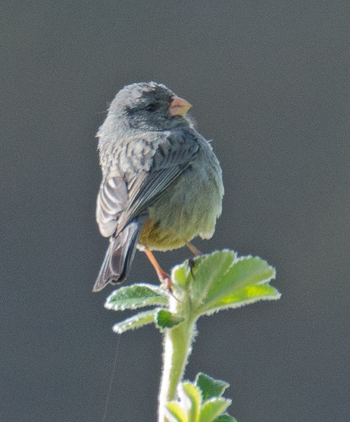 Plain-colored Seedeater - minor ssp - male