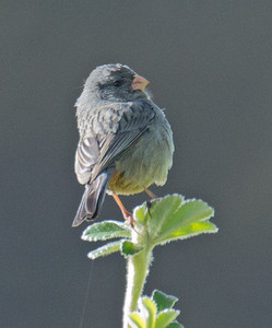 Catamenia inornata - Plain-colored Seedeater