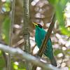 Green Honeycreeper - argutus ssp - male