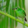 Green Honeycreeper - argutus ssp - female