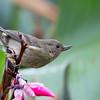Slaty Flowerpiercer - plumbea ssp - female