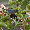 Slaty Flowerpiercer - plumbea ssp - male