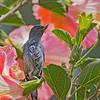 Slaty Flowerpiercer - plumbea ssp