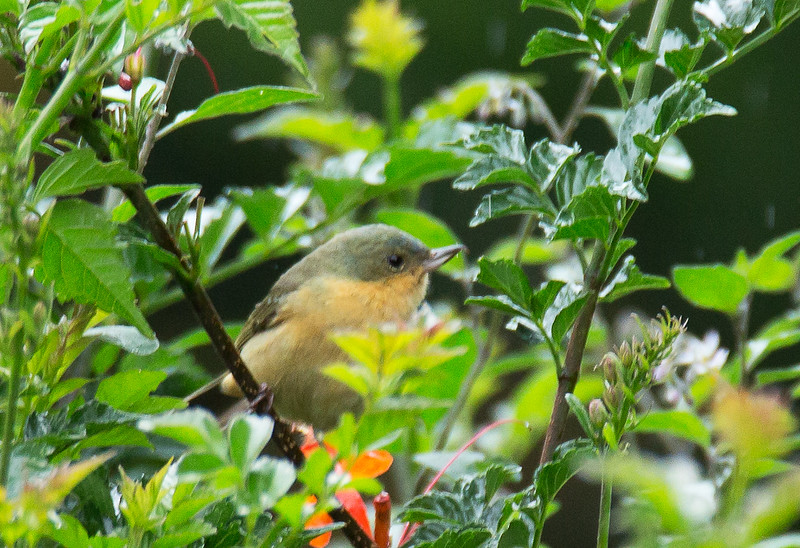Rusty Flowerpiercer - decorata ssp