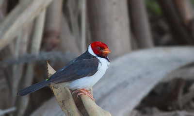 Paroaria capitata - Yellow-billed Cardinal