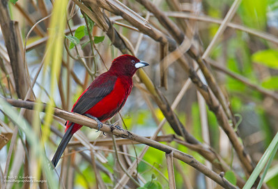 Ramphocelus dimidiatus - Crimson-backed Tanager