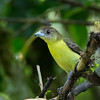 Lemon-rumped Tanager - female
