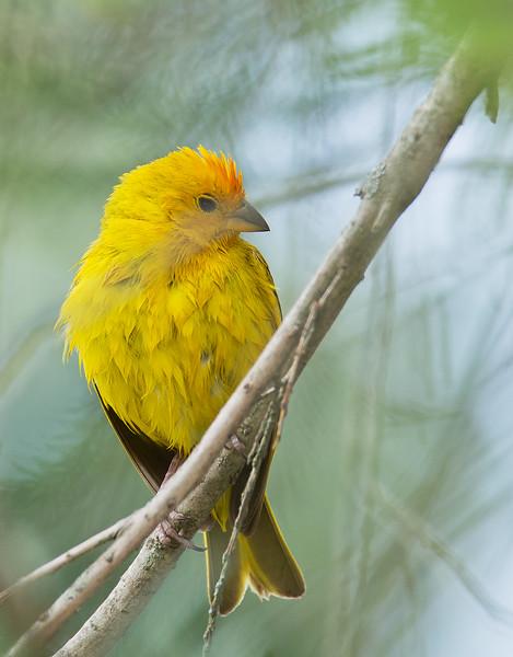 Saffron Finch - valida ssp