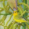 Saffron Finch - flaveola ssp - adult
