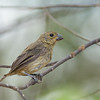 Variable Seedeater - hicksii ssp - female