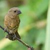 Variable Seedeater - opthalmica ssp - female