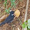 Variable Seedeater - hicksii ssp - male
